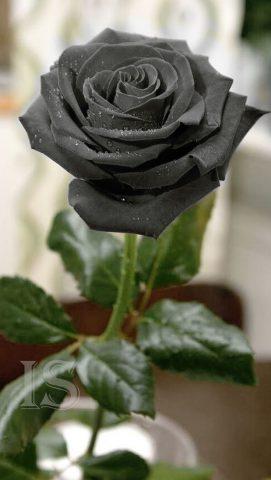 Exemplu Imagine Trandafir Negru De Halfeti