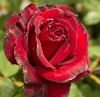 Trandafirul Negru Black Madonna