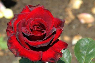 Trandafirul Negru Norita